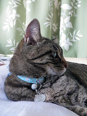 水色の首輪をしたキジトラの猫
