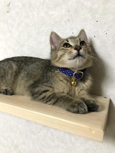 子猫用首輪