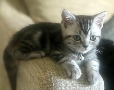 タータンチェックの子猫用首輪をしたアメショー