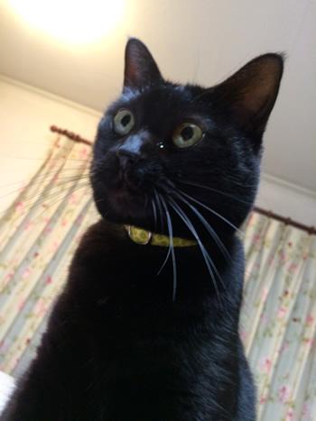レモン色の首輪をした黒猫