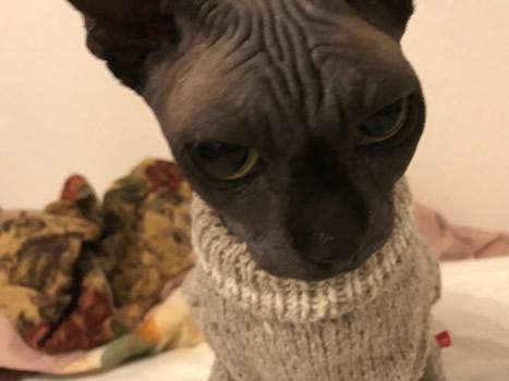 セーターを着たスフィンクスの猫の顔アップ