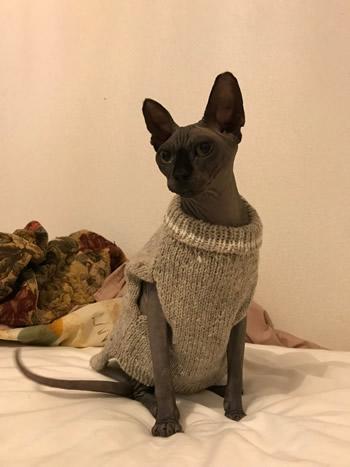セーターを着たスフィンクスの猫