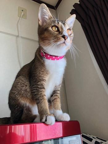 水玉ピンク色の首輪をした猫