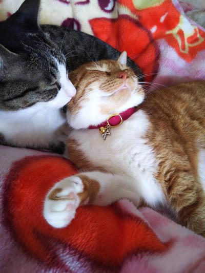 チャーム付きの首輪をして毛づくろいをする兄妹猫