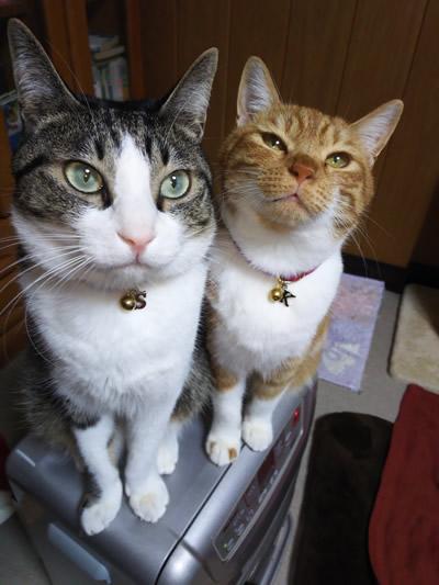 チャーム付きの首輪をしたとても仲良しの兄妹猫