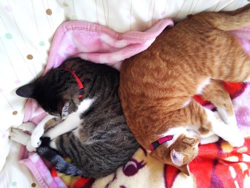 色違いの首輪をして仲良く眠る2匹の猫
