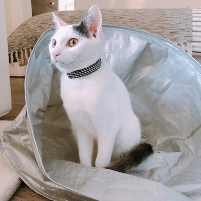 白黒チェックの首輪をした6ヶ月の白猫ちゃん