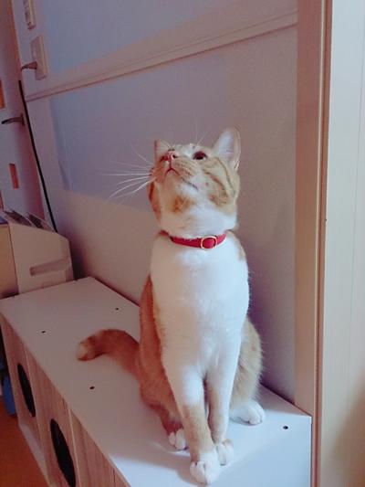 赤い首輪をした茶色と白毛の猫ちゃん