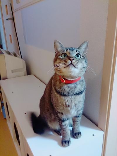 赤い首輪をしたキジトラ猫ちゃん
