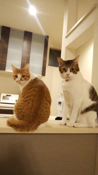 タータンチェック柄の首輪をした2匹の猫