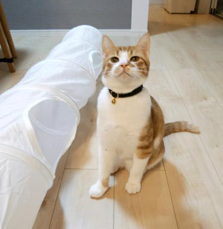 タータンチェック柄の首輪をした茶白猫