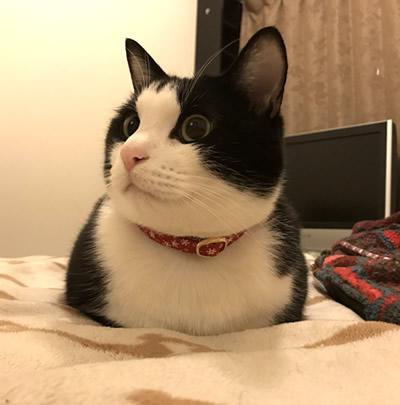 クリスマスの赤い首輪をしたハチワレ猫