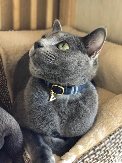 タータンチェックの首輪をしたロシアンブルーの猫