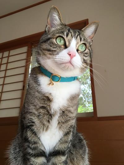 水色のおしゃれな首輪をした猫