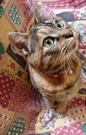 和風の花柄首輪をしたサビ猫