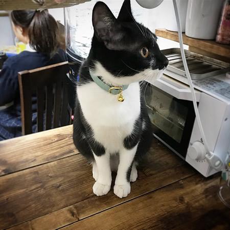 ミントブルーの首輪をした白黒の猫