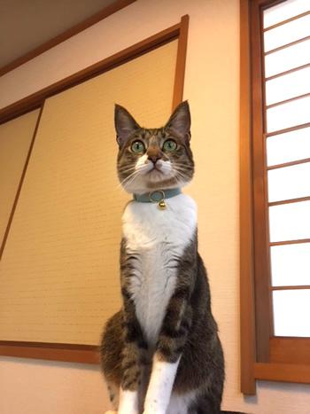 ミントグリーンの首輪をした猫