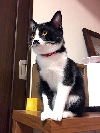 おしゃれな赤い首輪をしたはちわれ猫