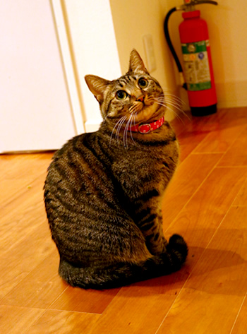 おしゃれな水玉の首輪をした猫