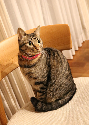 ピンクドットの首輪をした猫