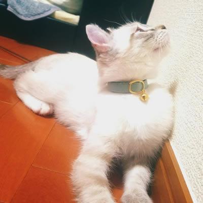 おしゃれな子猫用首輪をした子猫