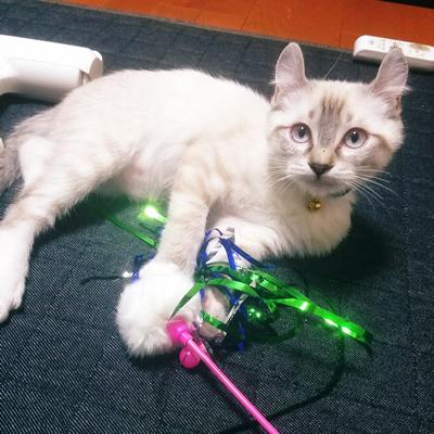 和風の子猫用首輪をした子猫