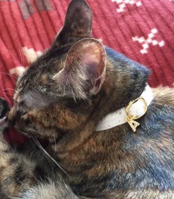 白い首輪をして眠る猫