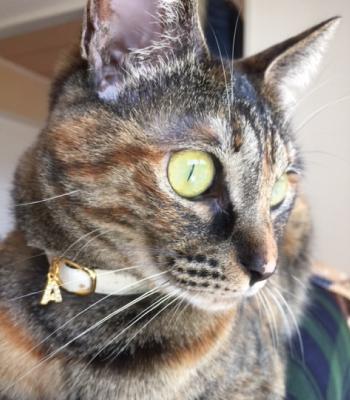 チャーム付きの白い首輪をした猫