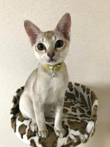 子猫用首輪をしたシンガプーラの猫ちゃん