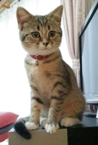 ピンク色の子猫用首輪をしたスコティッシュフォールド