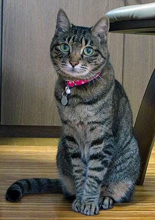 水玉ピンクの首輪をしたキジトラ猫