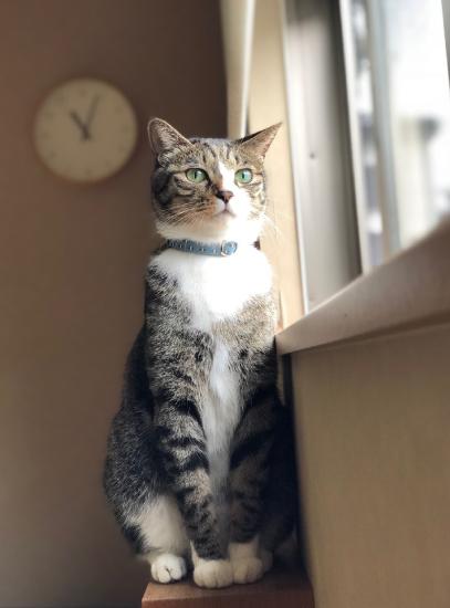 ブルーのセーフティ首輪をした猫