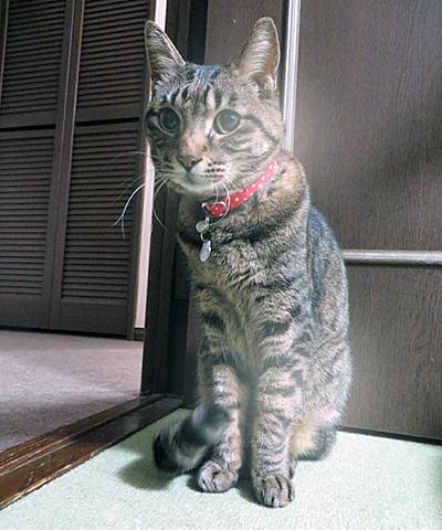 赤い首輪をしたキジトラ猫