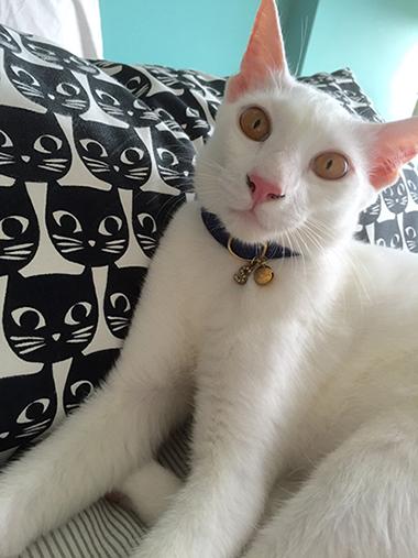 青い星柄の首輪をつけた白猫
