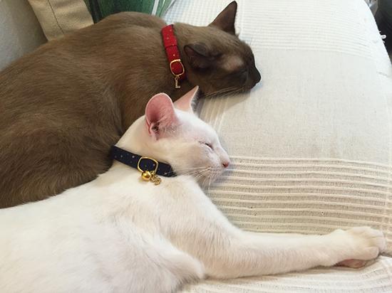 セーフティ首輪をつけた白猫とシャム猫