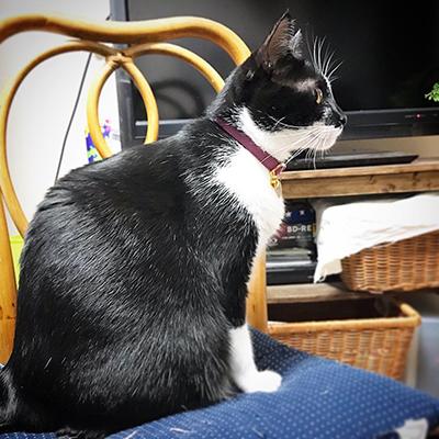 和風な首輪をした白黒猫