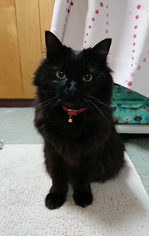 ピンクのセーフティ首輪をした長毛の黒猫