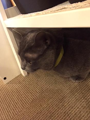 オリーブグリーンの首輪をしたロシアンブルーの猫