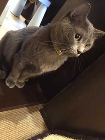 セーフティ首輪をしたロシアンブルーの猫