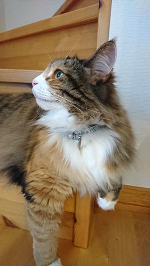 首輪をした長毛の猫