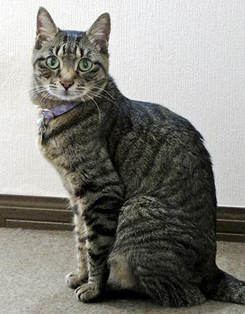 紫色のセーフティ首輪をした猫