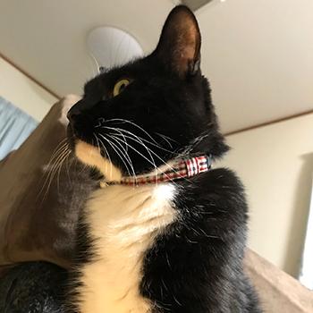 赤いチェックのおしゃれな首輪をした猫