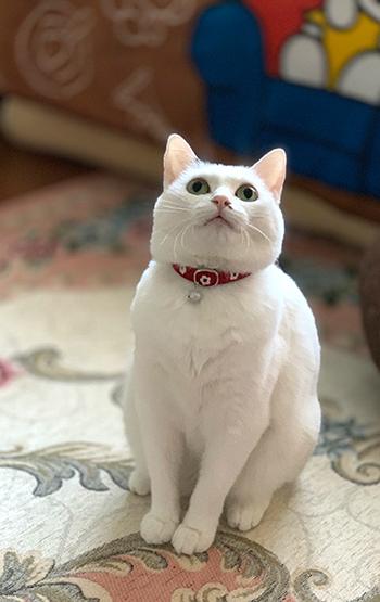 和柄の首輪をした白猫