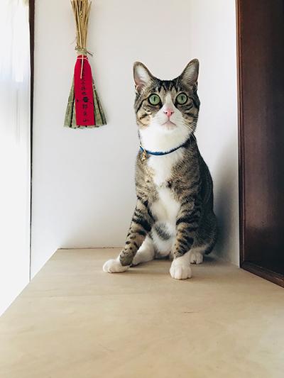 和風の安全首輪をしたおしゃれな猫