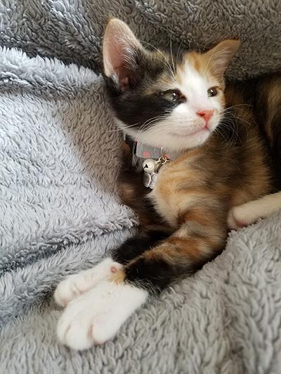 おしゃれで安全な首輪をした三毛猫の子猫