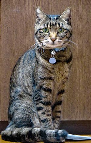 水玉の安全首輪をしたキジトラ猫ちゃん