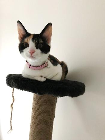 ピンクのおしゃれな首輪をした三毛猫