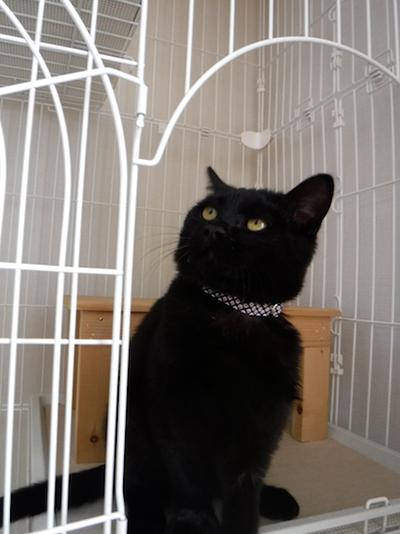 和風の首輪をした黒猫