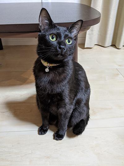 花柄の首輪をした黒猫
