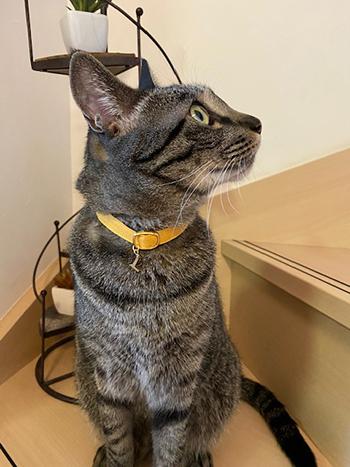 黄色の首輪をしたキジトラ猫